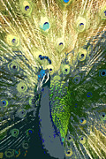 Bird Prints Art - Peacock 2 by Linda Fowler
