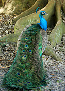 Peafowl Photos - Peacock Beauty by Sabrina L Ryan