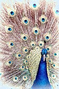 Animals On Train Framed Prints - Peacock Blue Framed Print by Jenny Hudson