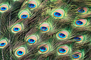 Cheryl Cencich - Peacock colors