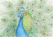 Peacock Drawings Metal Prints - Peacock Metal Print by Eve-Ly Villberg