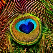 Peacocks Framed Prints - Peacock Feathers Eye of Love Framed Print by Tracie Kaska