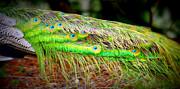 Marilyn Wilson - Peacock Feathers