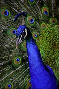 LeeAnn McLaneGoetz McLaneGoetzStudioLLCcom - Peacock Head and Tail