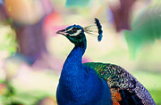 Colorful Bird Posters - Peacock I. Bird of Paradise Poster by Jenny Rainbow