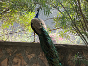 Ramesh Chand - Peacock on a boundary...