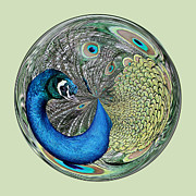 Peacock Orb Print by Thomas Photography  Thomas