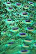Adam Jewell - Peacock Plumage