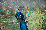 Laurel Best - Peacock Portrait