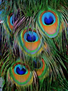 Most Viewed Digital Art Posters - Peacock Pride Poster by Anne Sterling