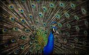 Elaine Malott - Peacock Profile