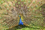 Strut Photos - Peacock by Scott Hansen