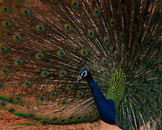 Peacock Photo Metal Prints - Peacock Show Off Metal Print by Ernie Echols