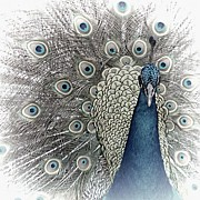 Animals On Train Framed Prints - Peacock Square Framed Print by Jenny Hudson