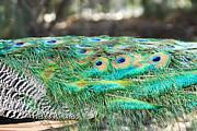 Diana Haronis - Peacock Tail