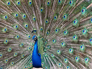 Peafowl Photos - Peacock tail gorgeous feathers by Matthias Hauser