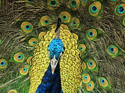 Denise Darby - Peacock Technicolor