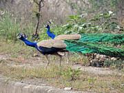 Ramesh Chand - Peacocks On The Roadside