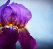 Bearded Iris Posters - Peak Performance 3 Poster by Fraida Gutovich