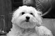 White Maltese Originals - Peanut by Jkrugjohann
