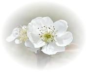 Judy Hall-Folde - Pear Blossom