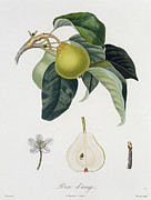 Color Green Drawings Posters - Pear Poster by Pierre Antoine Poiteau