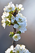 Pear Tree Posters - Pear Tree Blossom Poster by Christine Belt