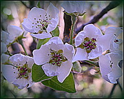 Tree Blossoms Originals - Pear Tree Blossoms by Dora Sofia Caputo