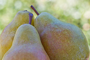 Bosc Prints - Pear Trio Print by Heidi Smith