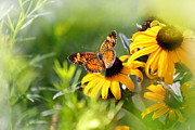 Karen Adams Prints - Pearl Crescent Butterfly on Black Eyed Susan Print by Karen Adams