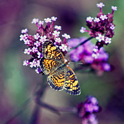 Karen Adams Posters - Pearl Crescent Butterfly with Purple Verbena Poster by Karen Adams