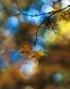 Fall Colors Autumn Colors Metal Prints - Pearlescent Acers Metal Print by Mike Reid