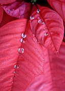 Red Leaves Acrylic Prints - Pearls on Poinsettia Acrylic Print by Carol Groenen