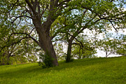 Pecan Prints - Pecan Trees Print by Mark Weaver