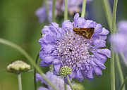 Reflections Of Infinity Posters - Pecks Skipper Butterfly on Pincushion Flower Poster by Robert E Alter Reflections of Infinity