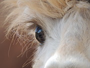 Poncho Photos - Peek A Boo Alpaca by Helen Carson