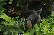 Teresa McGill - Peek-a-boo Black Bear