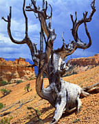 Inspiration Point Prints - Peek-a-Boo Bristlecone Print by Ray Mathis