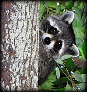 Raccoon Digital Art - Peek A Boo Raccoon by Sheri McLeroy