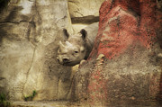 Rhinocerus Prints - Peek A Boo Rhino Print by Thomas Woolworth
