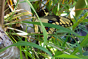 Jaxs Powell - Peek-a-boo swallowtail...