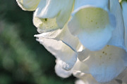 Foxglove Flowers Photos - Peek-A-Bug by Anna Marie Koonce