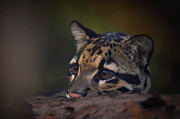 Clouded Leopard Posters - Peeking color version Poster by Adrian Tavano