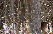 Winter Posters - Peeking Deer Poster by Aimee L Maher