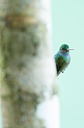 Hummingbird Art - Peeking Hummingbird by Natural Focal Point Photography