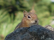Chipmunk Photograph Posters - Peeking Over The Rock Poster by Steven Parker