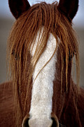 Forelock Photos - Peeking Through The Hair D0250 by Wes and Dotty Weber