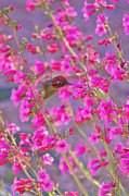 Hummingbird And Pink Flowers Framed Prints - Peeking Through the Pink Penstemons Framed Print by K D Graves