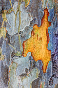 Bark Design Photos - Peeling Bark Elm Abstract by Heidi Smith