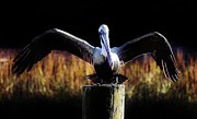 Pelican All Aglow Print by Paulette  Thomas